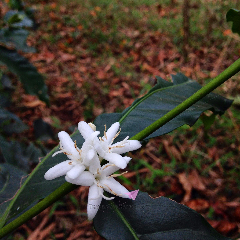 11. Coffee flower in coffee plantation Chikamaglur copy
