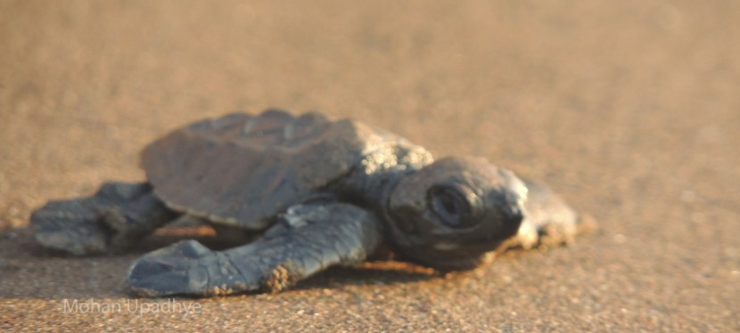 Visiting the Turtle Village of Coastal Maharashtra