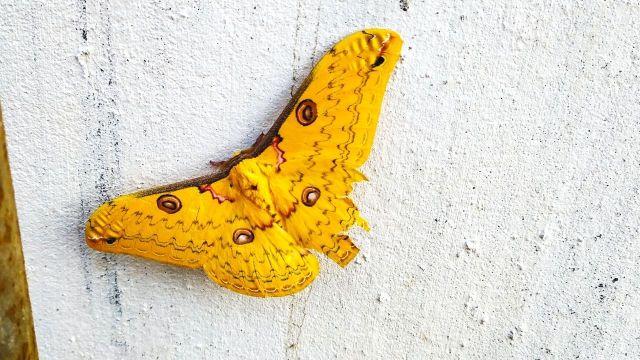 Lesser golden emperor moth in sohra meghalaya